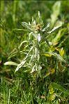 Photo 1/6 Gnaphalium uliginosum L.
