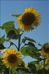 Photo 1/1 Helianthus annuus L.