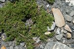 Herniaria glabra L.
