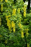 Photo 2/5 Laburnum anagyroides Medik.