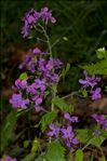 Photo 3/4 Lunaria annua L.