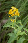 Photo 5/6 Lysimachia vulgaris L.