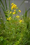 Photo 3/6 Lysimachia vulgaris L.
