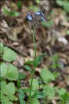 Photo 4/4 Myosotis sylvatica Hoffm.
