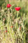 Photo 1/2 Papaver rhoeas L.