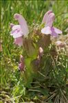 Pedicularis sylvatica L.