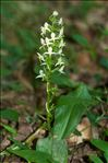 Photo 24/24 Platanthera chlorantha (Custer) Rchb.