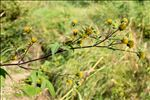 Photo 3/4 Bidens frondosa L.