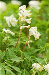 Pseudofumaria alba (Mill.) Lidén