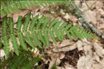 Photo 1/1 Pteridium aquilinum (L.) Kuhn