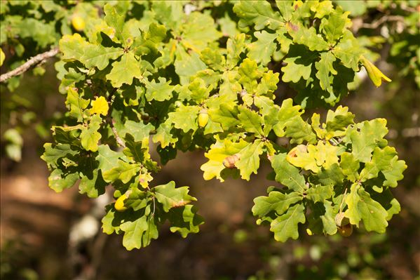 Quercus robur L.