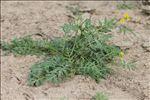 Rorippa sylvestris (L.) Besser