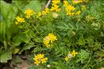 Photo 1/2 Rorippa sylvestris (L.) Besser
