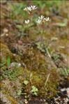 Photo 3/7 Saxifraga granulata L.