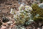 Photo 5/9 Sedum dasyphyllum L.