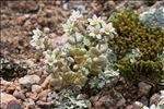 Photo 4/9 Sedum dasyphyllum L.