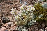 Photo 3/9 Sedum dasyphyllum L.
