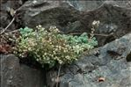 Photo 8/9 Sedum dasyphyllum L.