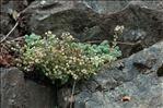 Sedum dasyphyllum L.