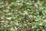 Sorbus aria (L.) Crantz