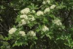 Photo 1/3 Sorbus aria (L.) Crantz