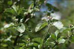 Sorbus aria (L.) Crantz subsp. aria