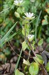 Photo 2/2 Stellaria media (L.) Vill.