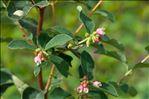 Symphoricarpos albus (L.) S.F.Blake subsp. albus