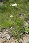 Photo 1/1 Tanacetum corymbosum (L.) Sch.Bip.