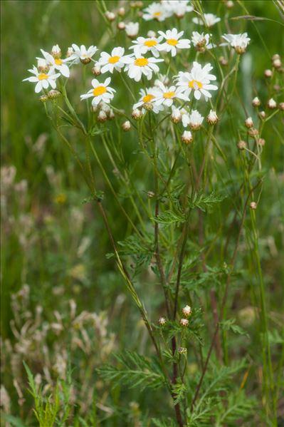 Tanacetum corymbosum (L.) Sch.Bip.