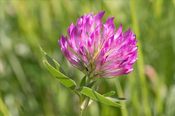 Trifolium medium L.
