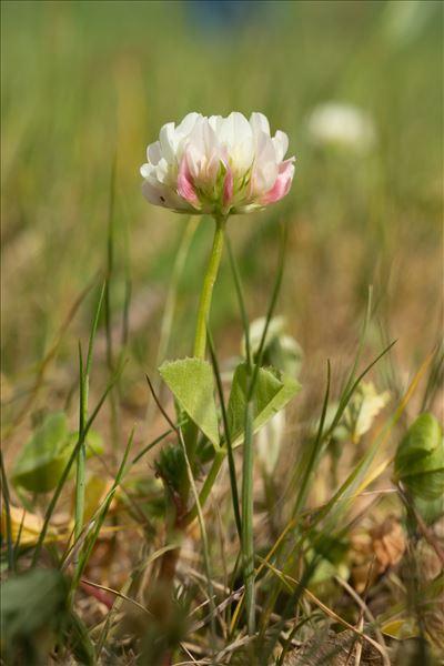 Trifolium nigrescens Viv. subsp. nigrescens