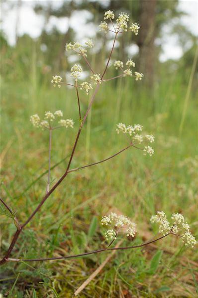 Trinia glauca (L.) Dumort.