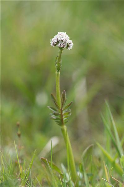 Valeriana dioica L.