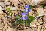 Viola rupestris F.W.Schmidt