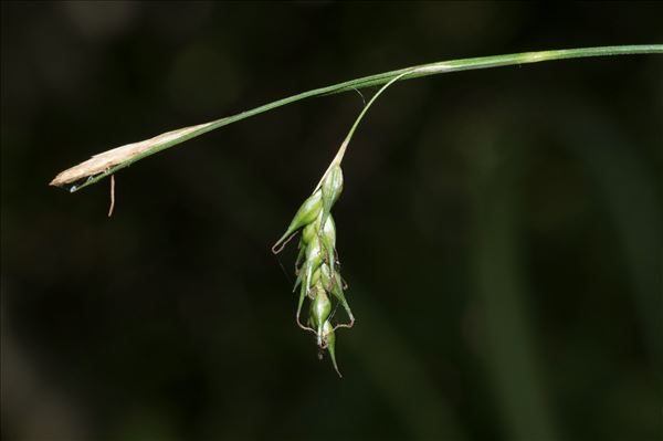 Carex sylvatica Huds.