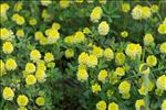 Photo 1/1 Trifolium campestre Schreb.