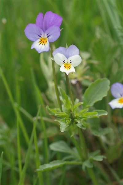 Viola tricolor subsp. curtisii (E.Forst.) Syme