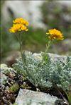Jacobaea incana (L.) Veldkamp subsp. incana