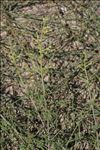 Scrophularia canina subsp. pinnatifida (Brot.) J.M.Tison