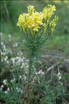 Linaria x oligotricha Borbás