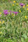 Centaurea nervosa Willd.