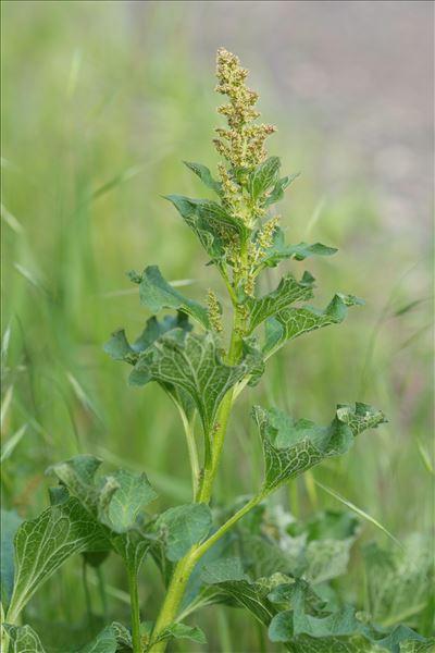 Blitum bonus-henricus (L.) C.A.Mey.