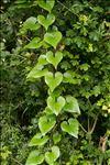 Dioscorea communis (L.) Caddick & Wilkin
