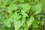 Photo 1/3 Dioscorea communis (L.) Caddick & Wilkin