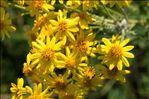 Jacobaea vulgaris Gaertn.