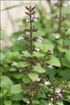 Photo 2/18 Clinopodium nepeta subsp. sylvaticum (Bromf.) Peruzzi & F.Conti