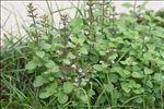 Photo 1/18 Clinopodium nepeta subsp. sylvaticum (Bromf.) Peruzzi & F.Conti