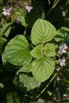 Photo 6/18 Clinopodium nepeta subsp. sylvaticum (Bromf.) Peruzzi & F.Conti
