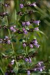 Photo 5/18 Clinopodium nepeta subsp. sylvaticum (Bromf.) Peruzzi & F.Conti